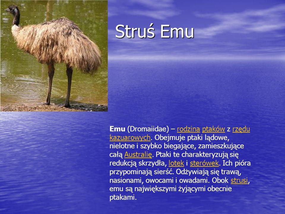 Struś Emu Struś Emu Emu (Dromaiidae) – rodzina ptaków z rzędu kazuarowych. Obejmuje ptaki lądowe, nielotne i szybko biegające, zamieszkujące całą Aust