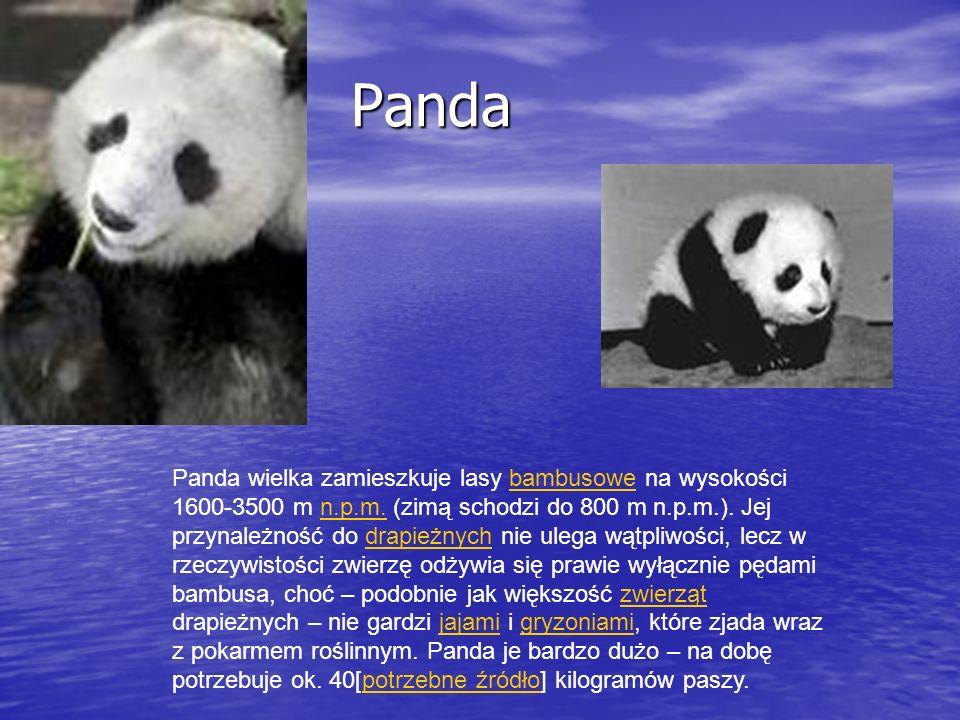 Panda wielka zamieszkuje lasy bambusowe na wysokości 1600-3500 m n.p.m. (zimą schodzi do 800 m n.p.m.). Jej przynależność do drapieżnych nie ulega wąt