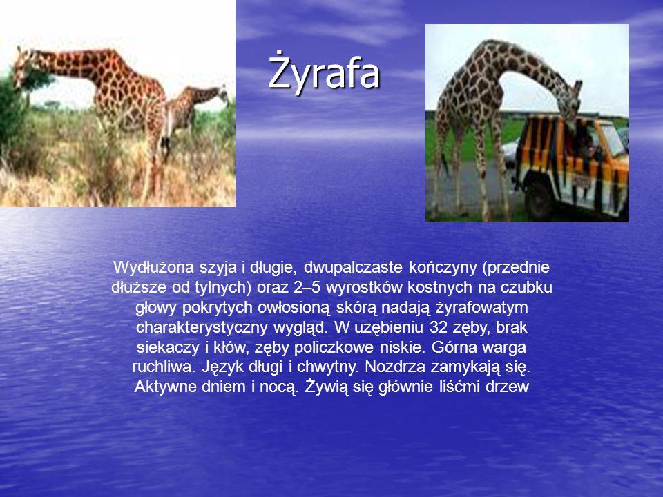 Zebra – ssak z rodzaju Equus (rodzina koniowatych) charakteryzujący się obecnością ciemnych pasów na białej lub żółtawej sierści.