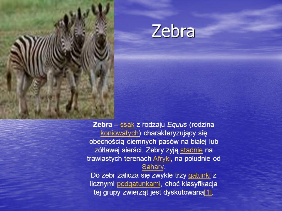 Zebra – ssak z rodzaju Equus (rodzina koniowatych) charakteryzujący się obecnością ciemnych pasów na białej lub żółtawej sierści. Zebry żyją stadnie n