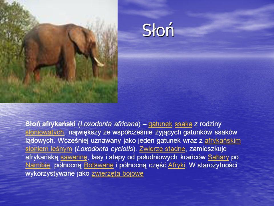 Słoń Słoń Słoń afrykański (Loxodonta africana) – gatunek ssaka z rodziny słoniowatych, największy ze współcześnie żyjących gatunków ssaków lądowych. W