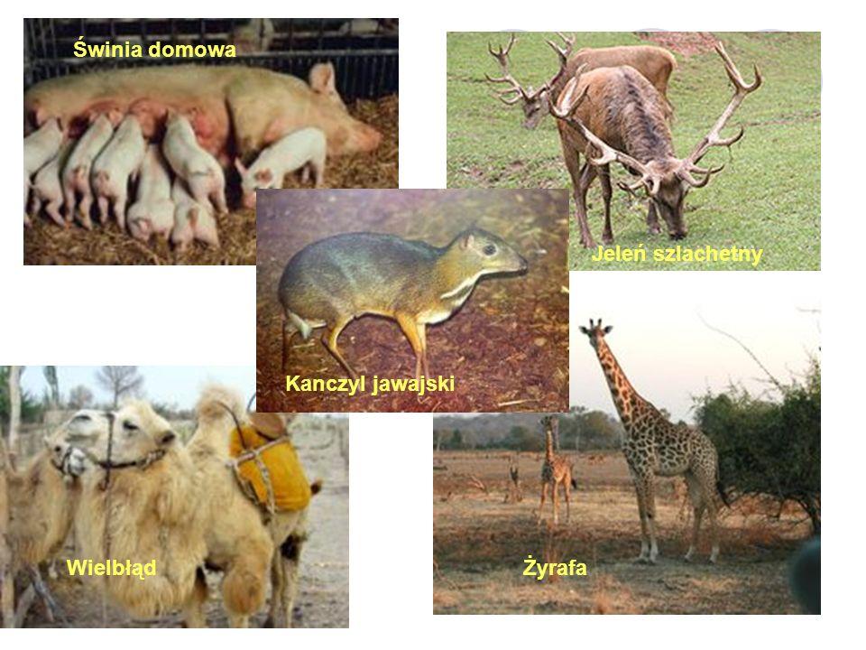 Świnia domowa Jeleń szlachetny Kanczyl jawajski WielbłądŻyrafa