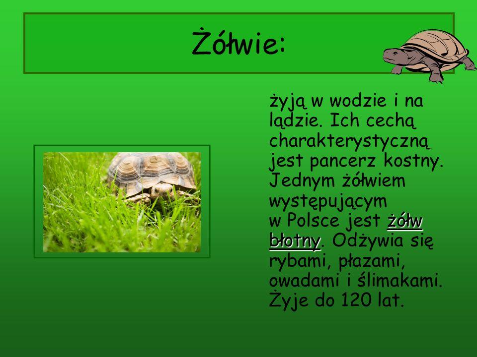 Żółwie: żółw błotny żyją w wodzie i na lądzie. Ich cechą charakterystyczną jest pancerz kostny. Jednym żółwiem występującym w Polsce jest żółw błotny.