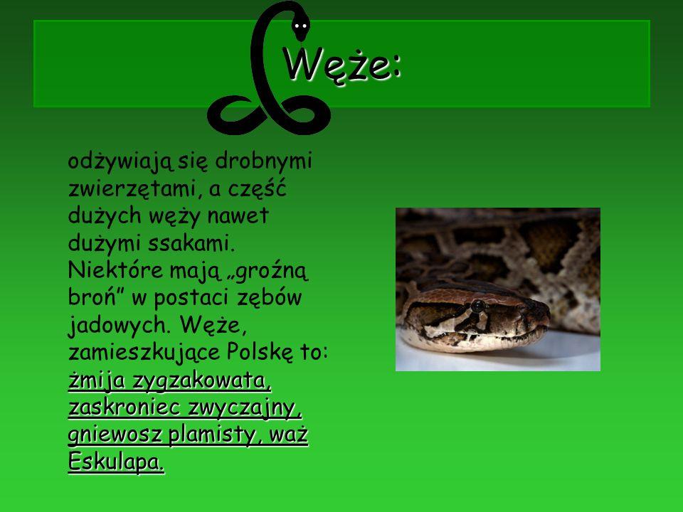 Węże: żmija zygzakowata, zaskroniec zwyczajny, gniewosz plamisty, waż Eskulapa. odżywiają się drobnymi zwierzętami, a część dużych węży nawet dużymi s