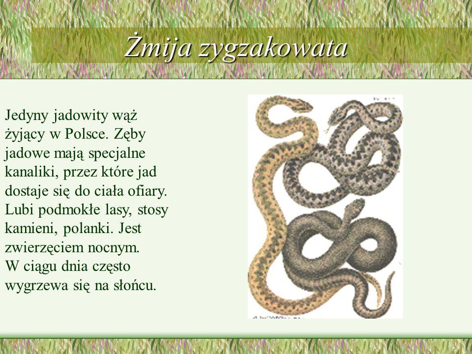 Wąż Eskulapa Największy i najrzadszy wąż w Polsce. Żyje w lasach liściastych, wśród skał i na silnie nasłonecznionych stokach.