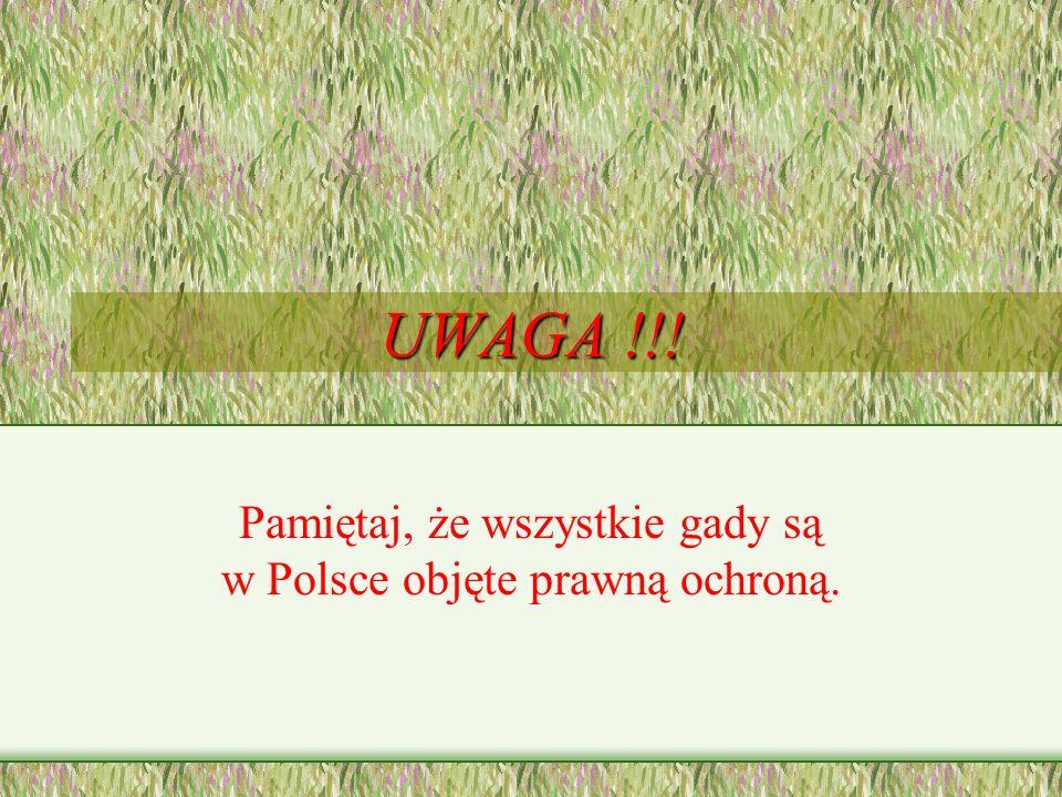 Żmija zygzakowata Jedyny jadowity wąż żyjący w Polsce. Zęby jadowe mają specjalne kanaliki, przez które jad dostaje się do ciała ofiary. Lubi podmokłe