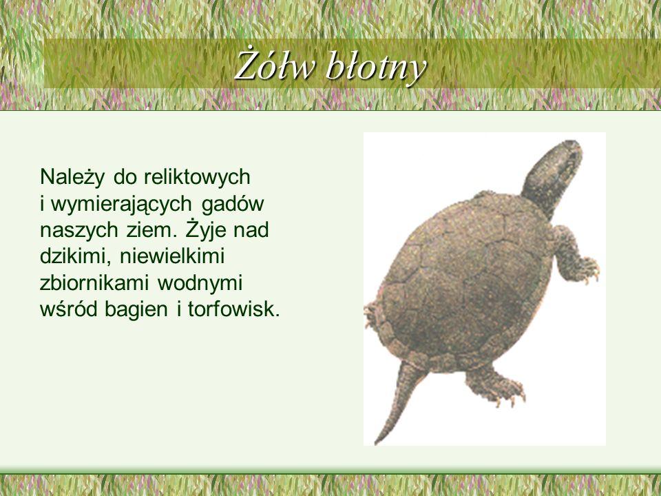 Żółw błotny Należy do reliktowych i wymierających gadów naszych ziem.