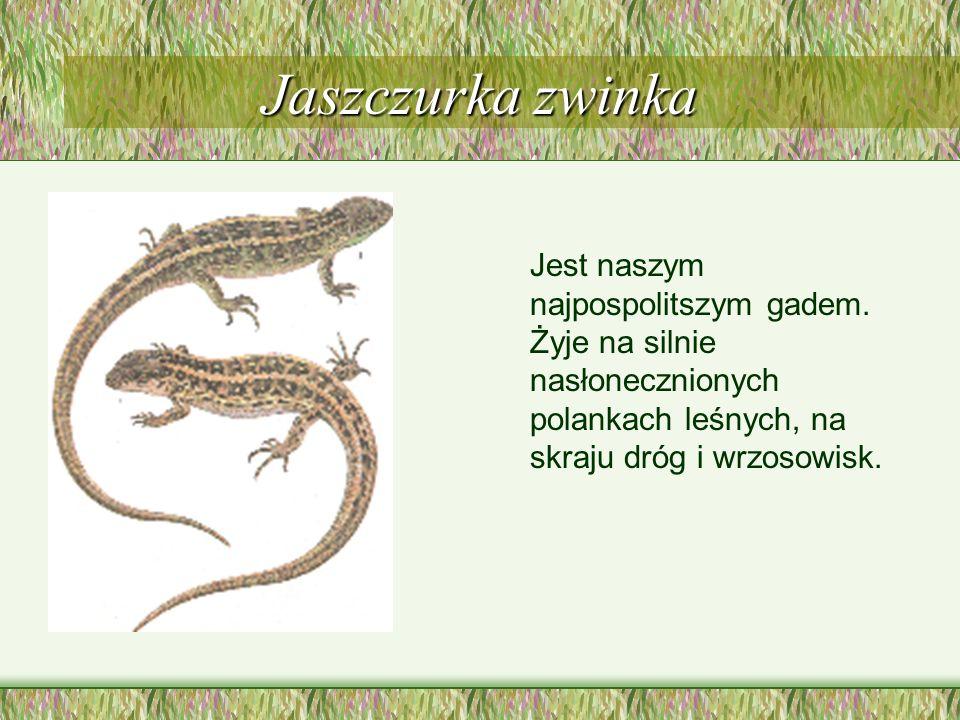 Żółw błotny Należy do reliktowych i wymierających gadów naszych ziem. Żyje nad dzikimi, niewielkimi zbiornikami wodnymi wśród bagien i torfowisk.