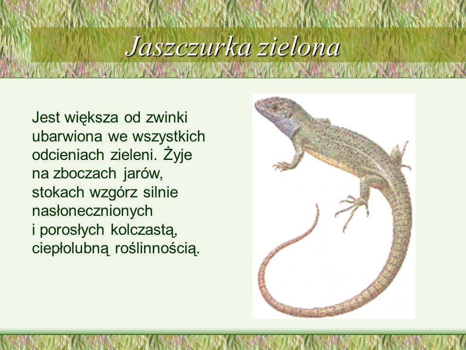 Jaszczurka zielona Jest większa od zwinki ubarwiona we wszystkich odcieniach zieleni.