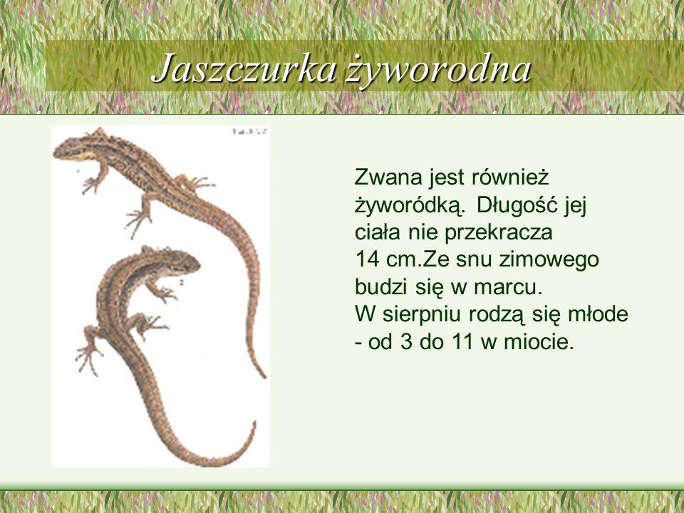 Jaszczurka zielona Jest większa od zwinki ubarwiona we wszystkich odcieniach zieleni. Żyje na zboczach jarów, stokach wzgórz silnie nasłonecznionych i