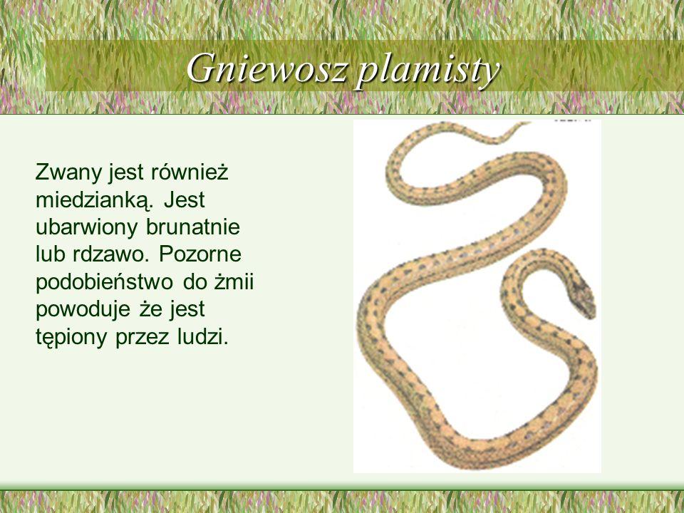 Zaskroniec zwyczajny Jest popularnym, niejadowitym wężem. W tylnej części głowy ma dwie charakterystyczne, półksiężycowate żółte plamy.