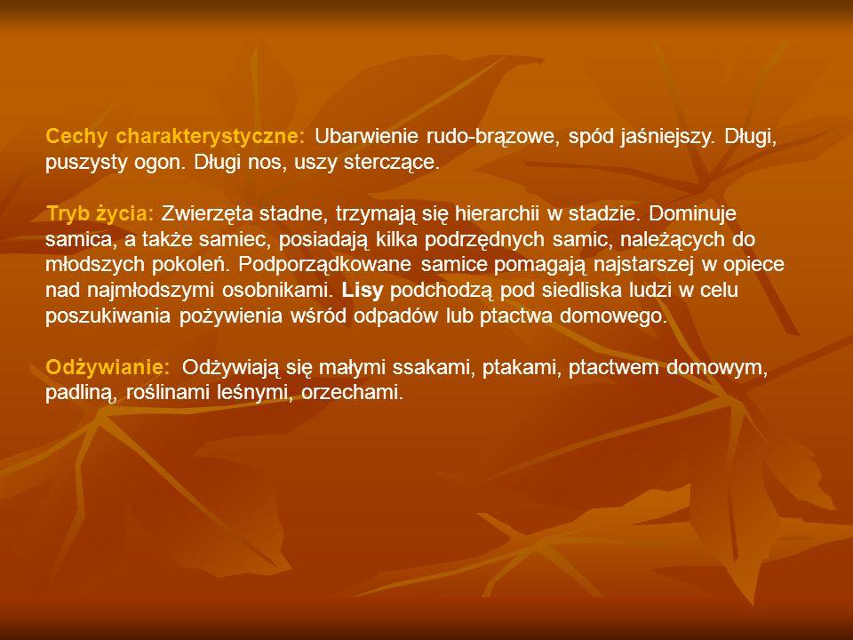 Cechy charakterystyczne: Ubarwienie rudo-brązowe, spód jaśniejszy. Długi, puszysty ogon. Długi nos, uszy sterczące. Tryb życia: Zwierzęta stadne, trzy