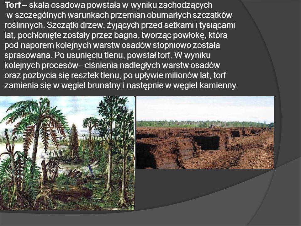 Torf – skała osadowa powstała w wyniku zachodzących w szczególnych warunkach przemian obumarłych szczątków roślinnych. Szczątki drzew, żyjących przed