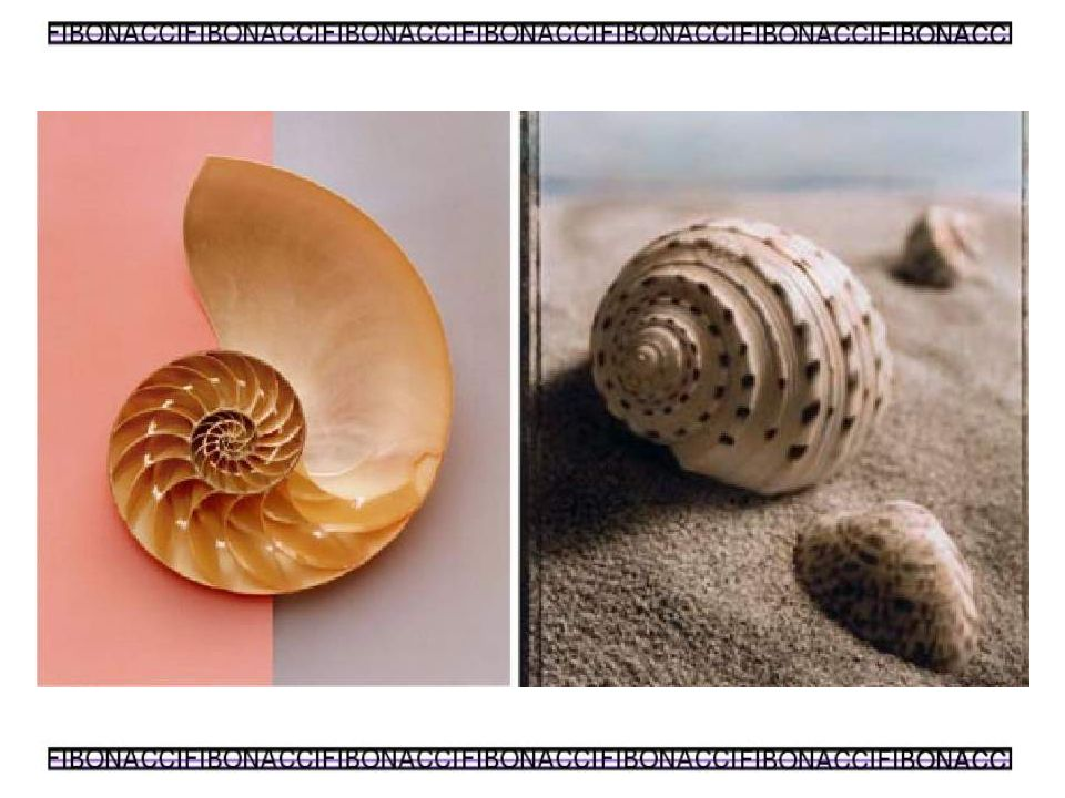 Fibonacci nawet nie zdawał sobie sprawy,że wzmianka o ciągu który umieścił na marginesie księgi Liber Abaci opisuje tak wiele zjawisk w przyrodzie.