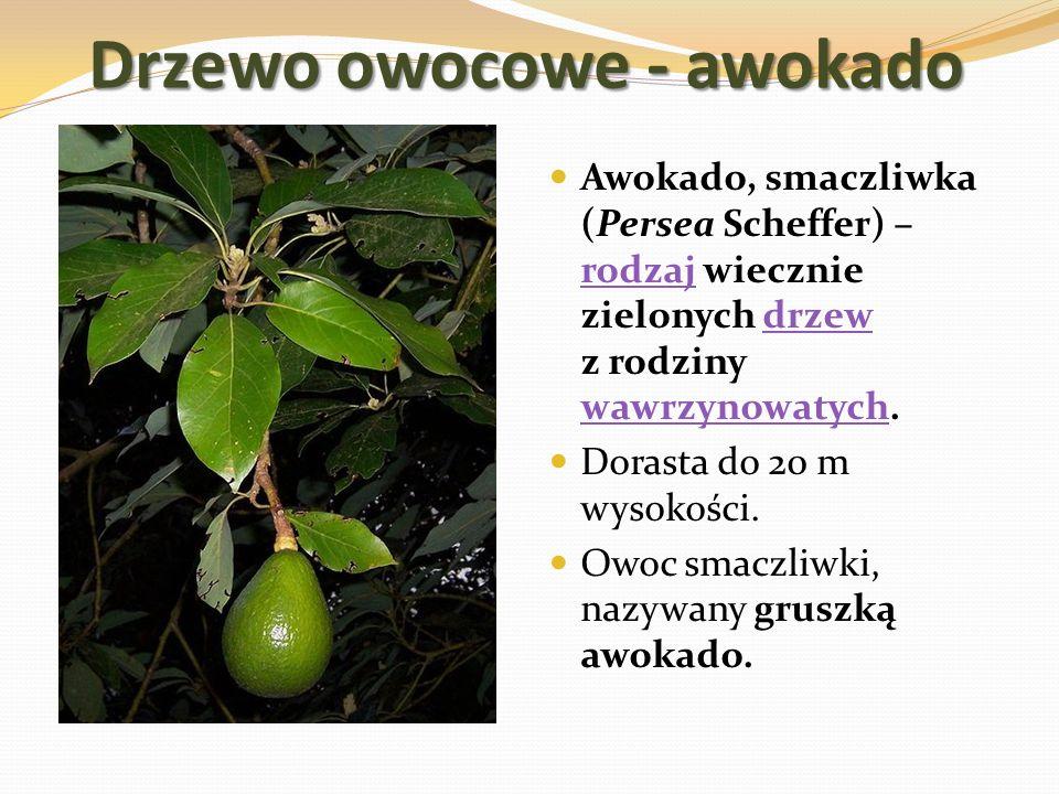 Drzewo owocowe - awokado Awokado, smaczliwka (Persea Scheffer) – rodzaj wiecznie zielonych drzew z rodziny wawrzynowatych. rodzajdrzew wawrzynowatych