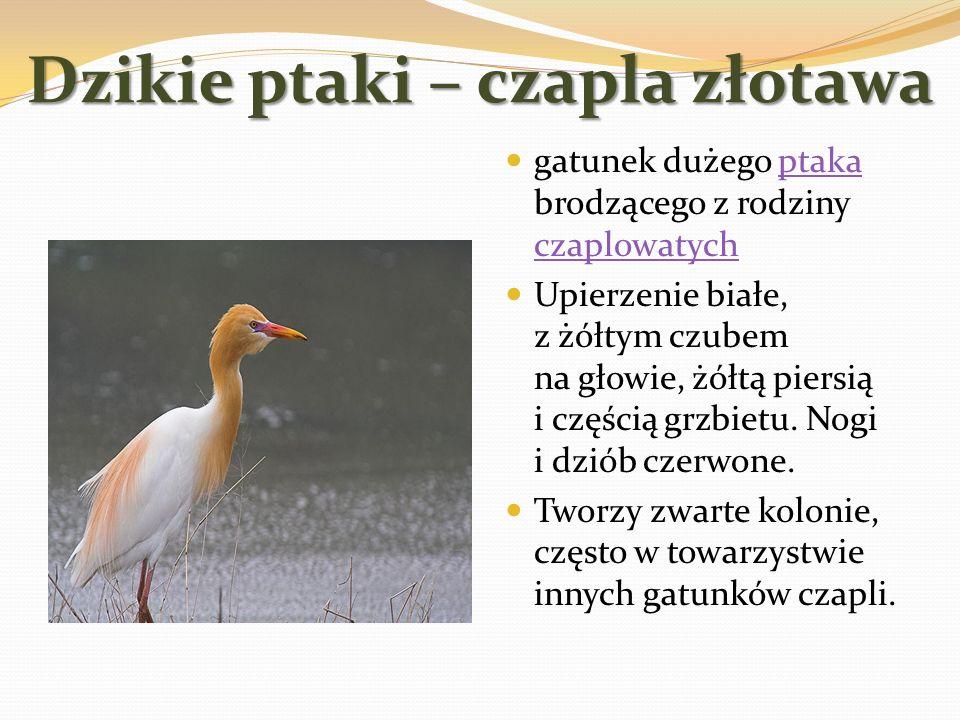 Dzikie ptaki – czapla złotawa gatunek dużego ptaka brodzącego z rodziny czaplowatychptaka czaplowatych Upierzenie białe, z żółtym czubem na głowie, żó