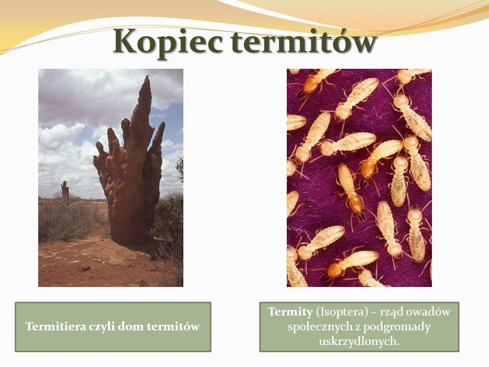 Kopiec termitów Termitiera czyli dom termitów Termity (Isoptera) – rząd owadów społecznych z podgromady uskrzydlonych.