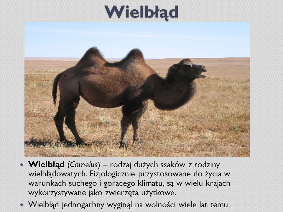Wielbłąd Wielbłąd (Camelus) – rodzaj dużych ssaków z rodziny wielbłądowatych. Fizjologicznie przystosowane do życia w warunkach suchego i gorącego kli