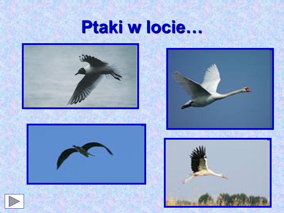 To warto wiedzieć… W czasie lotu ptaki poruszają skrzydłami, a także zmieniają ustawienie piór.