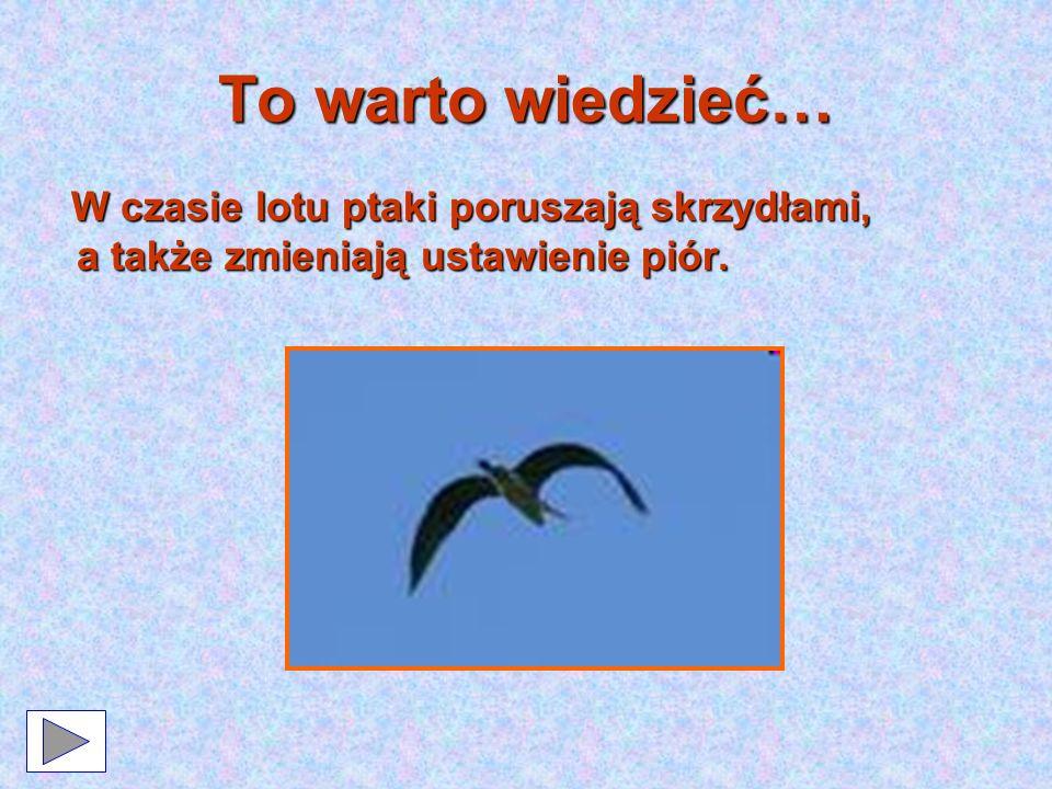 To warto wiedzieć… Gdy ptaki lecą w dół, krawędzie piór lekko nachodzą na siebie, tak aby nie przechodziło przez nie powietrze i aby ptaki mogły się od niego odpychać.