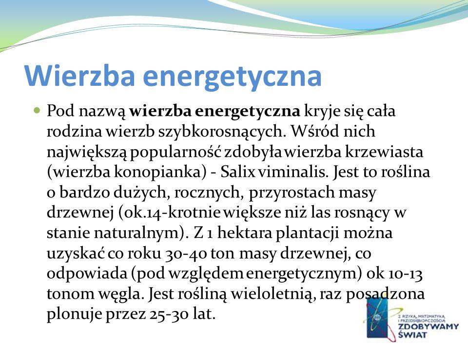 Wierzba energetyczna Pod nazwą wierzba energetyczna kryje się cała rodzina wierzb szybkorosnących. Wśród nich największą popularność zdobyła wierzba k