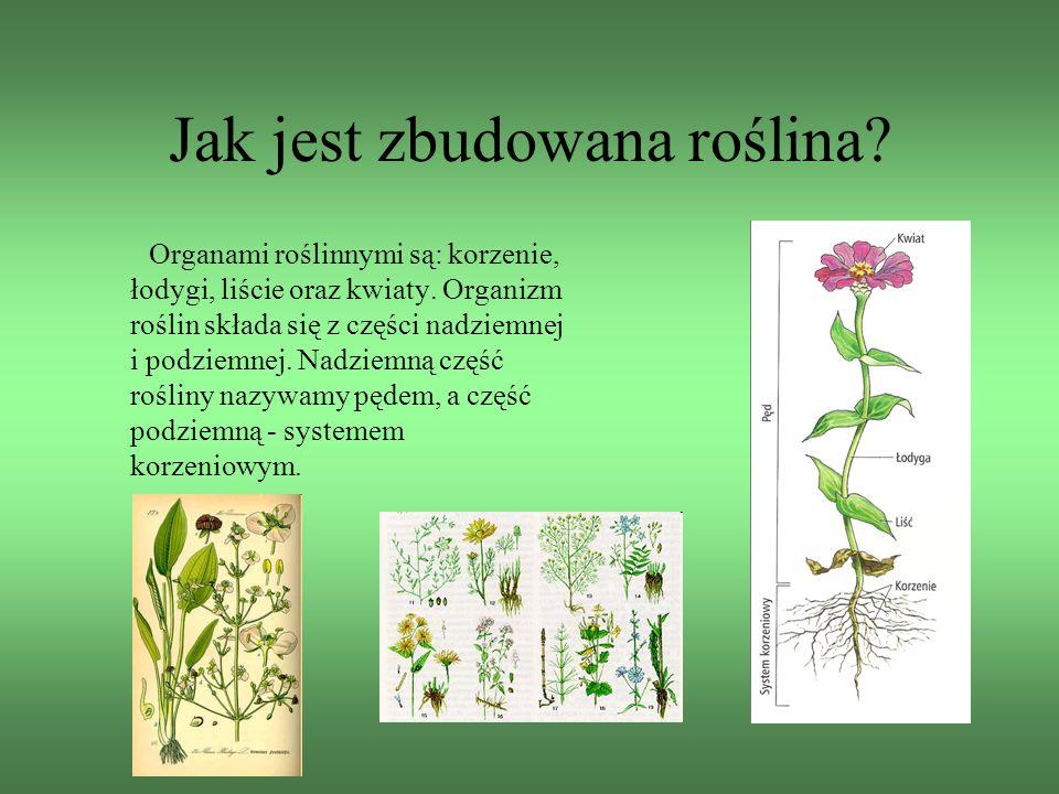 Jak jest zbudowana roślina? Organami roślinnymi są: korzenie, łodygi, liście oraz kwiaty. Organizm roślin składa się z części nadziemnej i podziemnej.