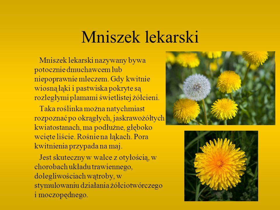 Mniszek lekarski Mniszek lekarski nazywany bywa potocznie dmuchawcem lub niepoprawnie mleczem. Gdy kwitnie wiosną łąki i pastwiska pokryte są rozległy