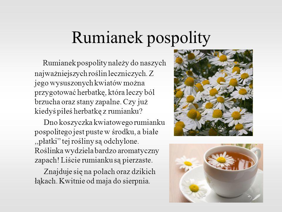 Rumianek pospolity Rumianek pospolity należy do naszych najważniejszych roślin leczniczych. Z jego wysuszonych kwiatów można przygotować herbatkę, któ