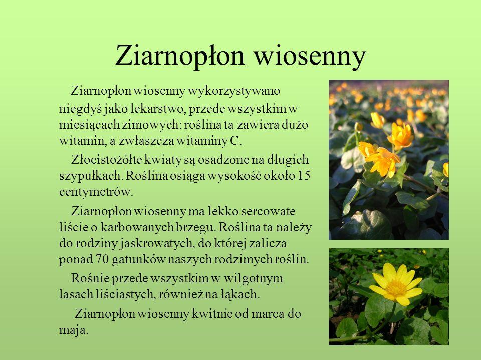 Ziarnopłon wiosenny Ziarnopłon wiosenny wykorzystywano niegdyś jako lekarstwo, przede wszystkim w miesiącach zimowych: roślina ta zawiera dużo witamin