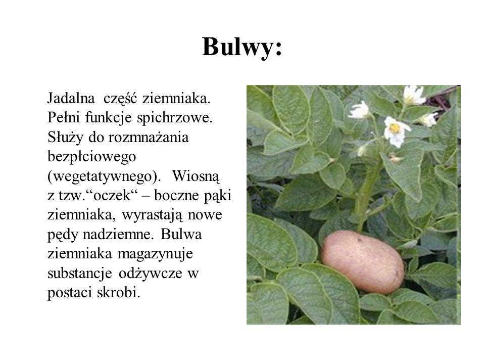 Bulwy: Jadalna część ziemniaka. Pełni funkcje spichrzowe. Służy do rozmnażania bezpłciowego (wegetatywnego). Wiosną z tzw.oczek – boczne pąki ziemniak