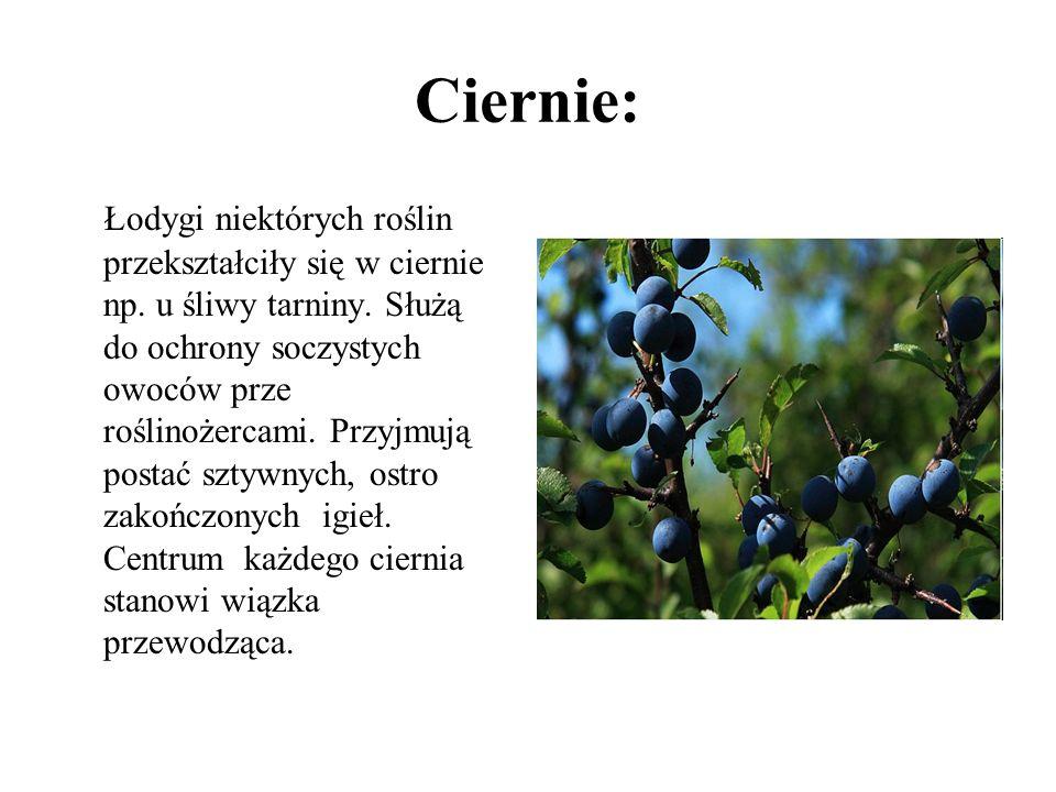 Ciernie: Łodygi niektórych roślin przekształciły się w ciernie np. u śliwy tarniny. Służą do ochrony soczystych owoców prze roślinożercami. Przyjmują