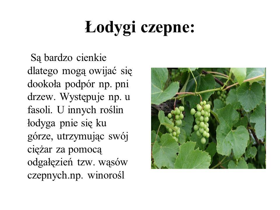 Łodygi czepne: Są bardzo cienkie dlatego mogą owijać się dookoła podpór np. pni drzew. Występuje np. u fasoli. U innych roślin łodyga pnie się ku górz