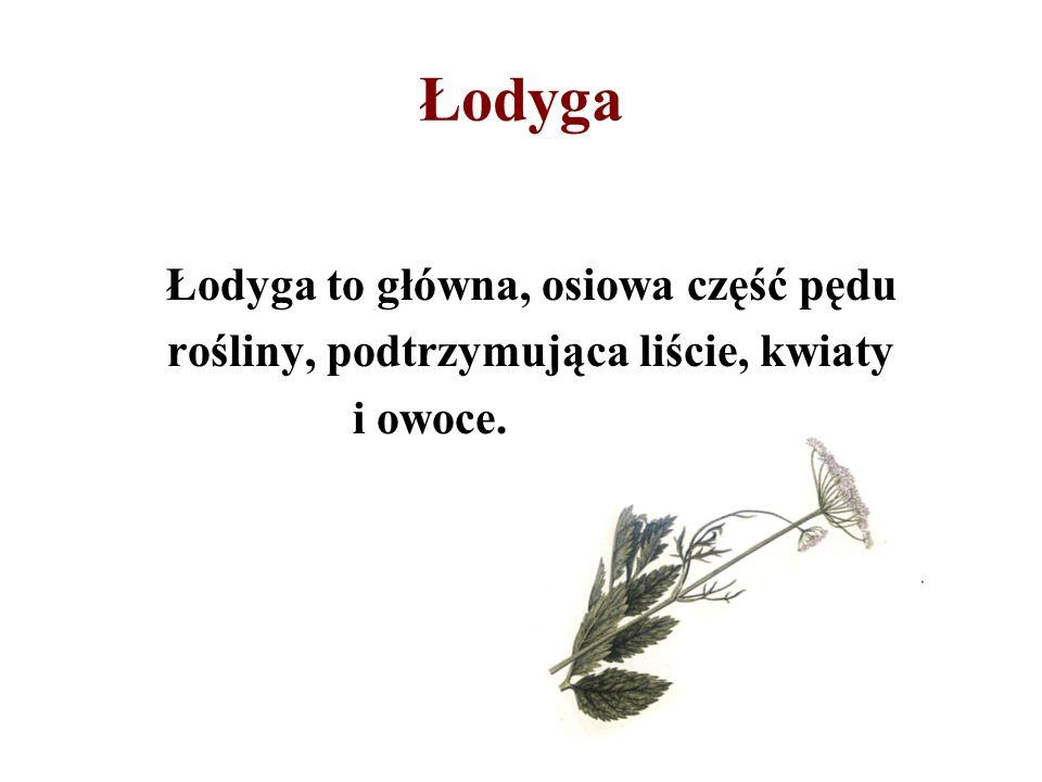 Łodyga Łodyga to główna, osiowa część pędu rośliny, podtrzymująca liście, kwiaty i owoce.