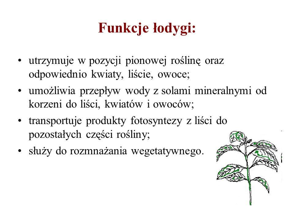 Funkcje łodygi: utrzymuje w pozycji pionowej roślinę oraz odpowiednio kwiaty, liście, owoce; umożliwia przepływ wody z solami mineralnymi od korzeni d