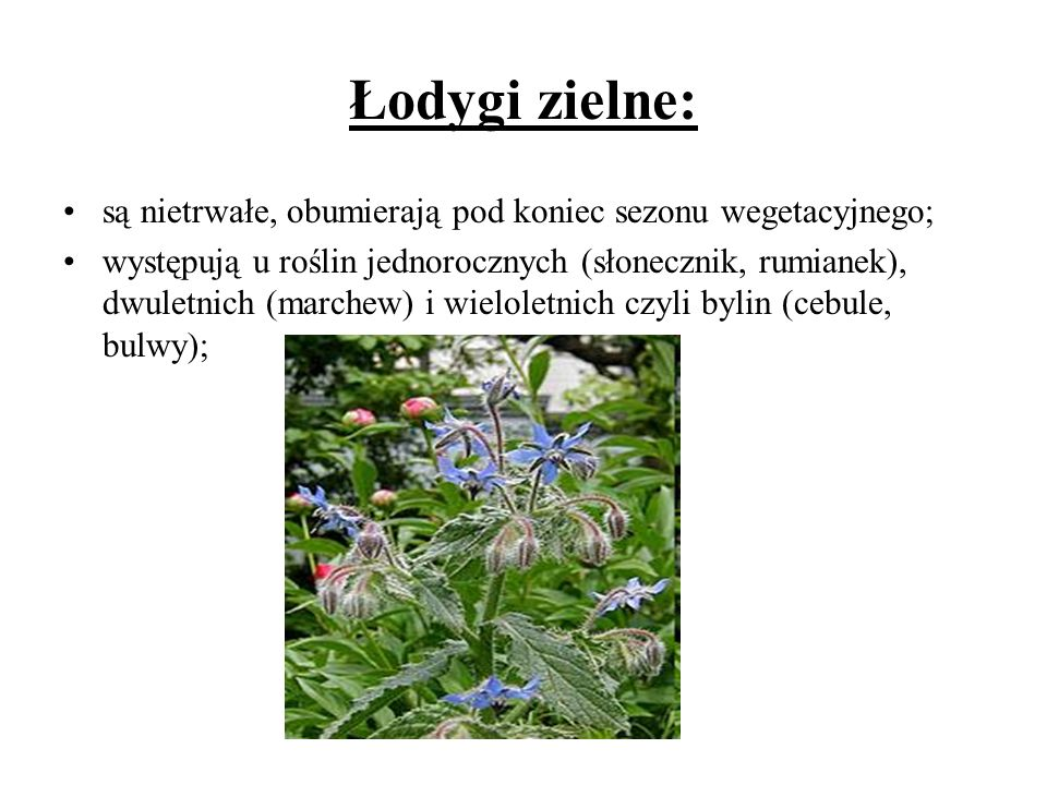 Łodygi zielne: są nietrwałe, obumierają pod koniec sezonu wegetacyjnego; występują u roślin jednorocznych (słonecznik, rumianek), dwuletnich (marchew)