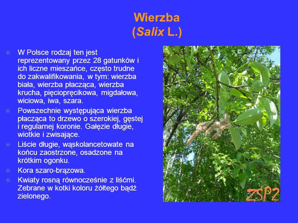 W Polsce rodzaj ten jest reprezentowany przez 28 gatunków i ich liczne mieszańce, często trudne do zakwalifikowania, w tym: wierzba biała, wierzba pła