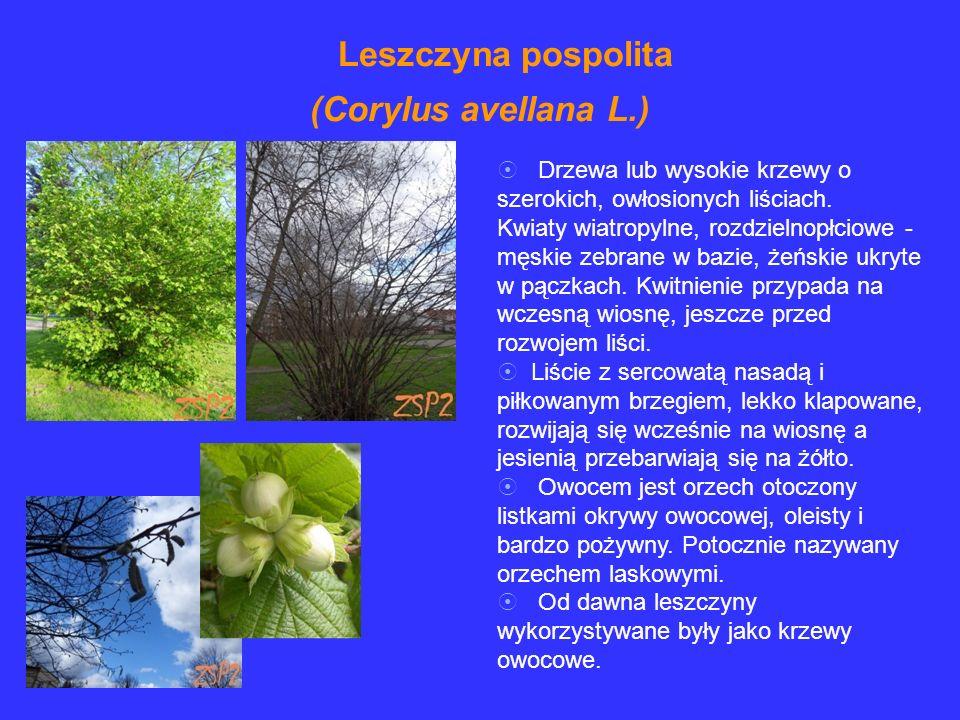 Drzewa lub wysokie krzewy o szerokich, owłosionych liściach. Kwiaty wiatropylne, rozdzielnopłciowe - męskie zebrane w bazie, żeńskie ukryte w pączkach