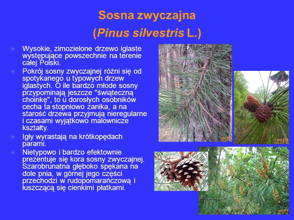 Wysokie, zimozielone drzewo iglaste występujące powszechnie na terenie całej Polski. Pokrój sosny zwyczajnej różni się od spotykanego u typowych drzew