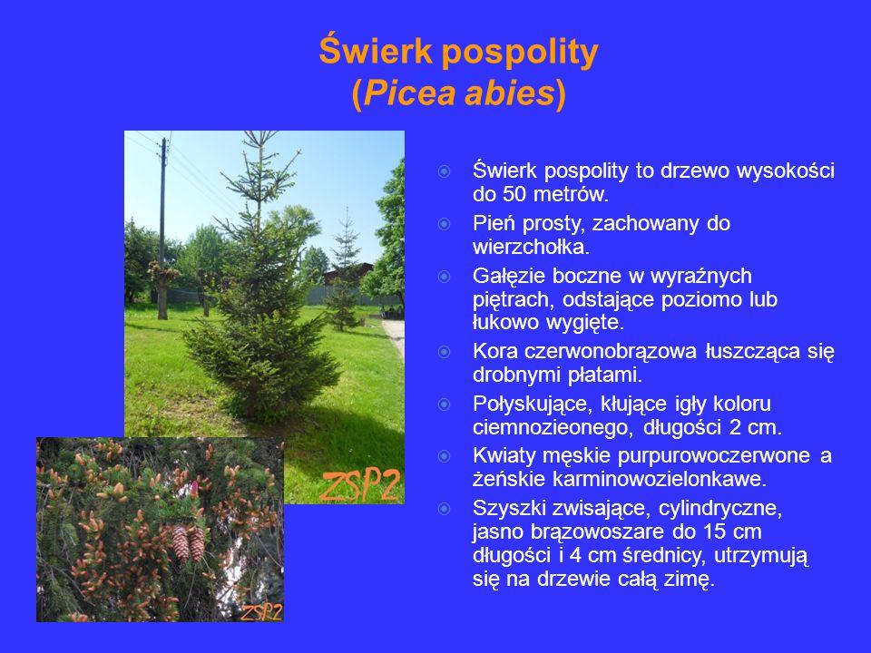 Świerk pospolity to drzewo wysokości do 50 metrów. Pień prosty, zachowany do wierzchołka. Gałęzie boczne w wyraźnych piętrach, odstające poziomo lub ł