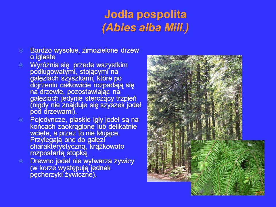 Bardzo wysokie, zimozielone drzew o iglaste Wyróżnia się przede wszystkim podługowatymi, stojącymi na gałęziach szyszkami, które po dojrzeniu całkowicie rozpadają się na drzewie, pozostawiając na gałęziach jedynie sterczący trzpień (nigdy nie znajduje się szyszek jodeł pod drzewami).
