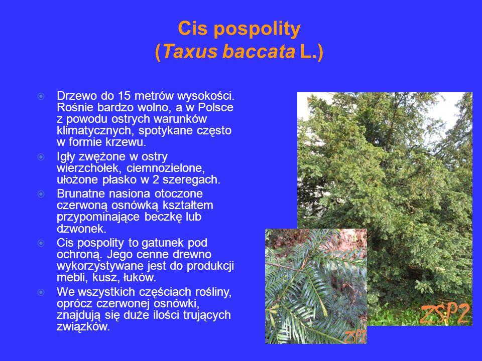 Drzewo do 15 metrów wysokości. Rośnie bardzo wolno, a w Polsce z powodu ostrych warunków klimatycznych, spotykane często w formie krzewu. Igły zwężone