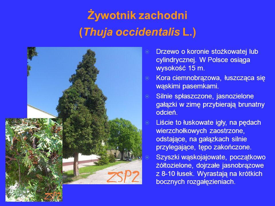Drzewo o koronie stożkowatej lub cylindrycznej. W Polsce osiąga wysokość 15 m. Kora ciemnobrązowa, łuszcząca się wąskimi pasemkami. Silnie spłaszczone