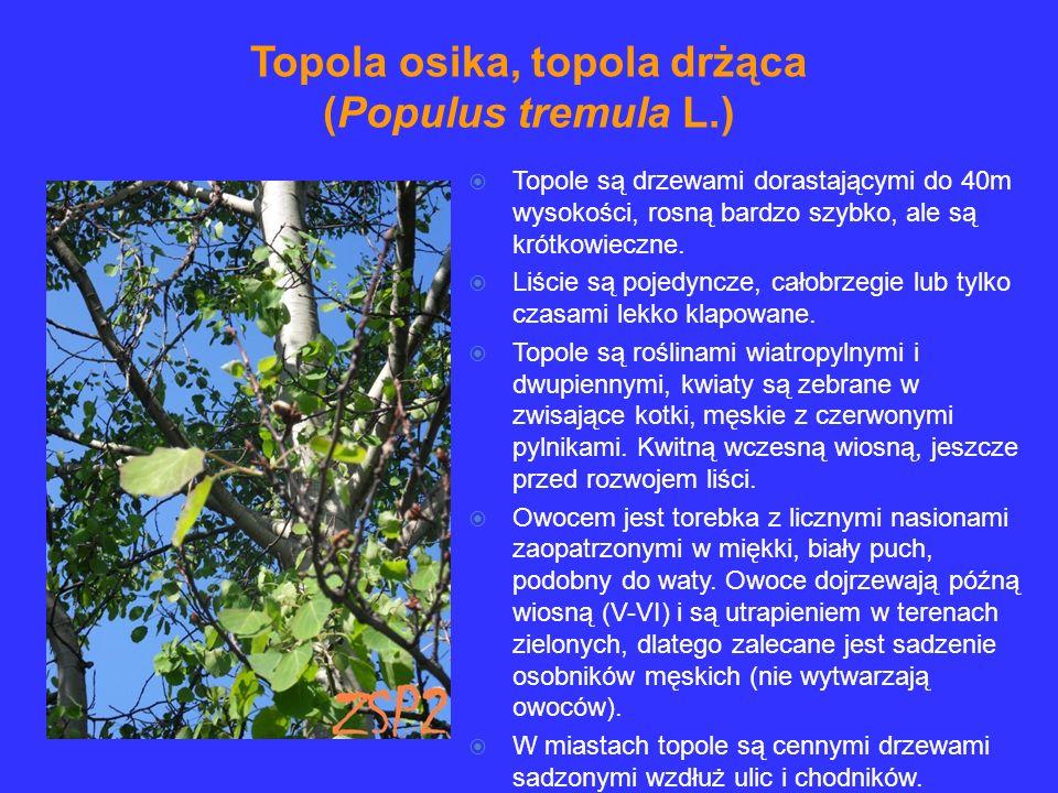 Topole są drzewami dorastającymi do 40m wysokości, rosną bardzo szybko, ale są krótkowieczne. Liście są pojedyncze, całobrzegie lub tylko czasami lekk