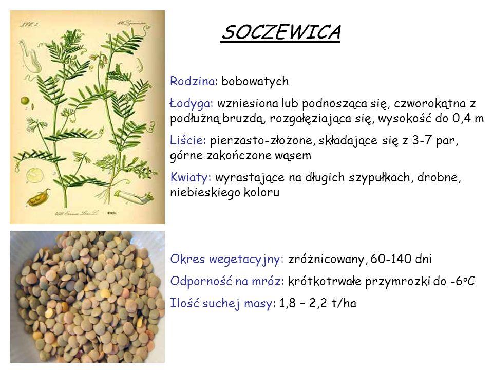 SOCZEWICA Rodzina: bobowatych Łodyga: wzniesiona lub podnosząca się, czworokątna z podłużną bruzdą, rozgałęziająca się, wysokość do 0,4 m Liście: pier