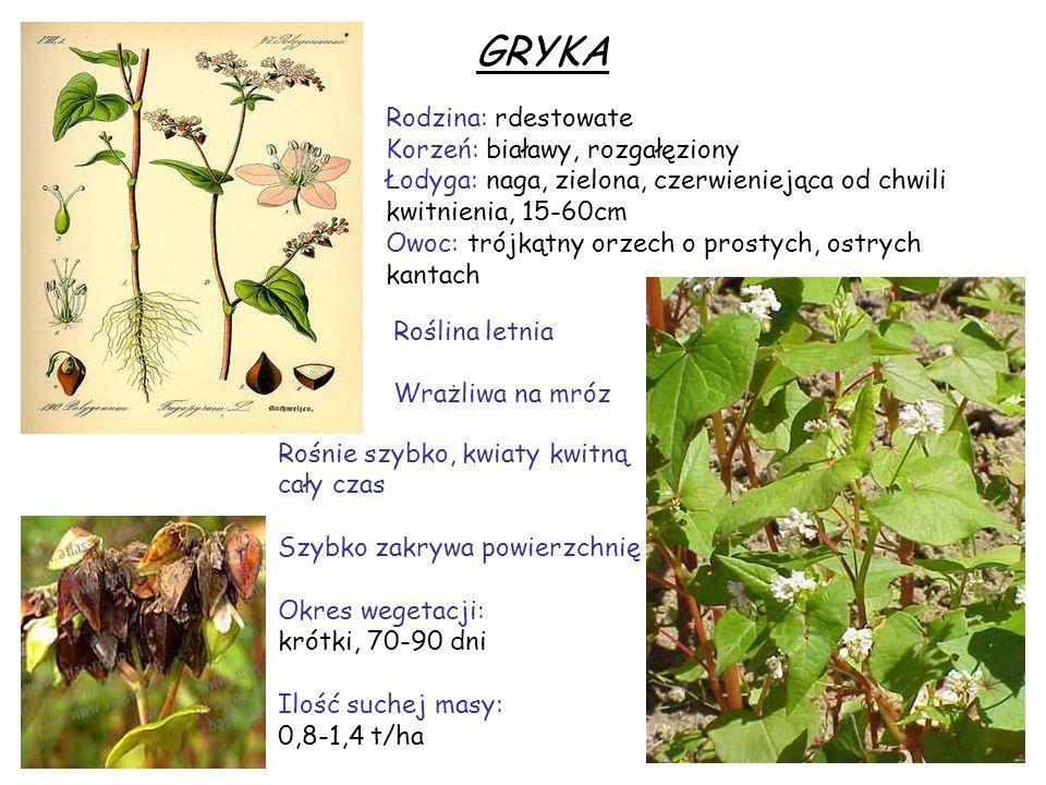 GRYKA Rodzina: rdestowate Korzeń: białawy, rozgałęziony Łodyga: naga, zielona, czerwieniejąca od chwili kwitnienia, 15-60cm Owoc: trójkątny orzech o p
