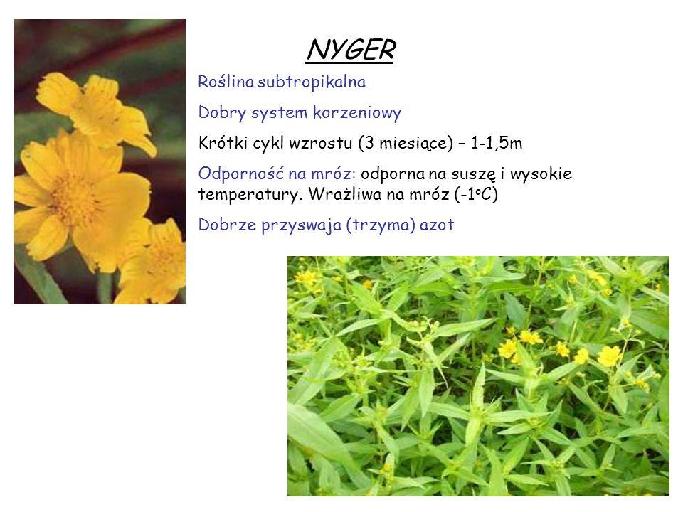 NYGER Roślina subtropikalna Dobry system korzeniowy Krótki cykl wzrostu (3 miesiące) – 1-1,5m Odporność na mróz: odporna na suszę i wysokie temperatur