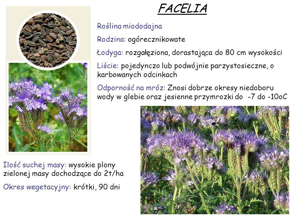 FACELIA Roślina miododajna Rodzina: ogórecznikowate Łodyga: rozgałęziona, dorastająca do 80 cm wysokości Liście: pojedynczo lub podwójnie parzystosiec