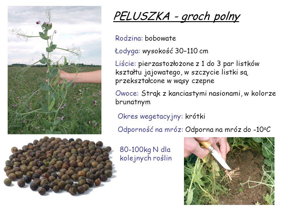 PELUSZKA - groch polny Rodzina: bobowate Łodyga: wysokość 30–110 cm Liście: pierzastozłożone z 1 do 3 par listków kształtu jajowatego, w szczycie list