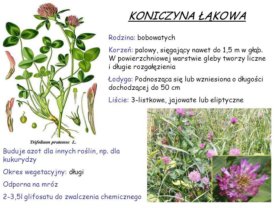 KONICZYNA ŁĄKOWA Rodzina: bobowatych Korzeń: palowy, sięgający nawet do 1,5 m w głąb. W powierzchniowej warstwie gleby tworzy liczne i długie rozgałęz