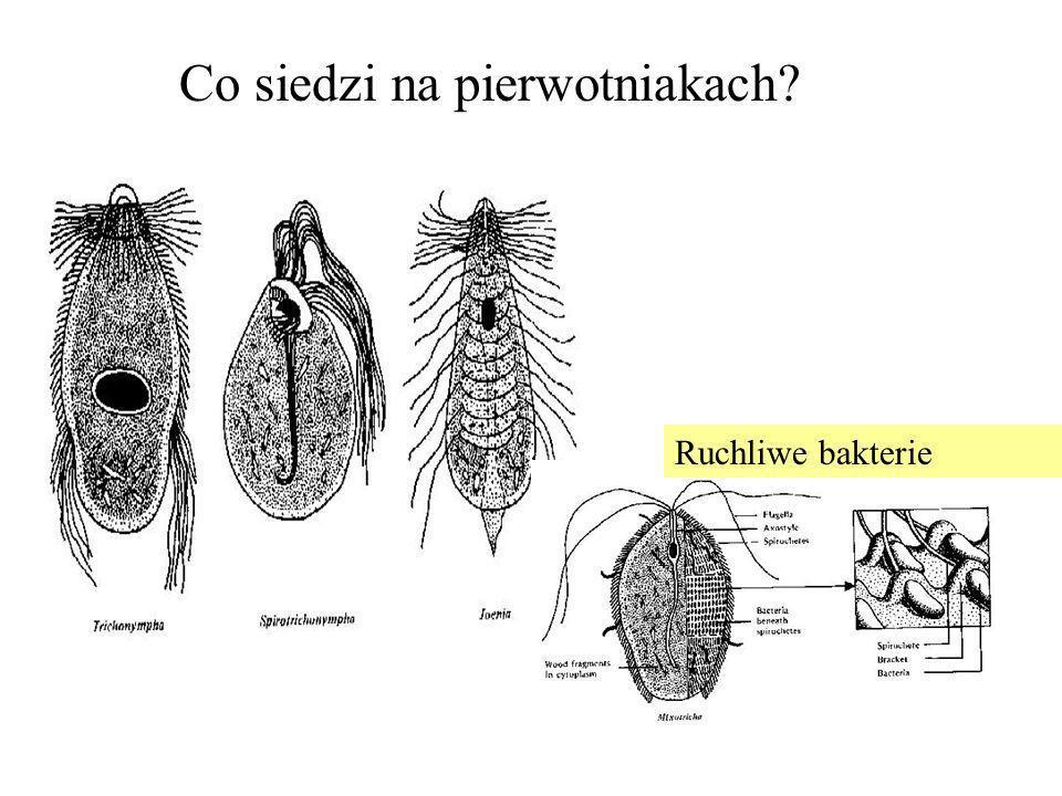 Co siedzi na pierwotniakach? Ruchliwe bakterie